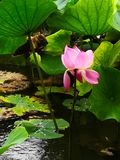 Pink lotus flower: beautiful delicate petals in green leaves, a bud half-bloomed, fade. Water lily growing in the dark green water royalty free stock image
