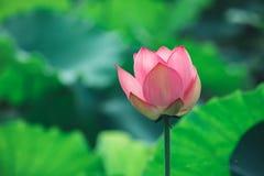 Pink lotus flower stock photo