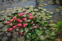 Pink Lotus flower beautiful lotus. Stock Image