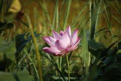 Pink Lotus flower beautiful lotus. Beautiful Pink Lotus flower in the pool stock image