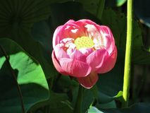 A pink lotus flower Royalty Free Stock Photos