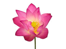 Pink lotus flower. Beautiful lotus(Single lotus flower isolated on white background Royalty Free Stock Photos