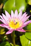 Pink lotus flower with bee Stock Photos