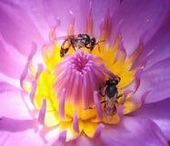 Pink lotus flower. Bee pollen stock image