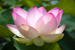 Pink lotus flower in bloom stock photography