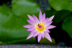 Pink lotus flower bloom Royalty Free Stock Photo