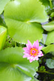 Pink Lotus flower bloom in pond,water lily in the public park. Stock Photos