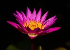 Pink lotus flower blooming Royalty Free Stock Images