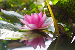 Pink Lotus flower is blooming on garden. Lotus flower is blooming on garden royalty free stock photography