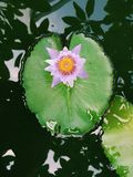 Pink lotus flower blooming   on  Lotus leaf  , Thailand in  park Royalty Free Stock Photos