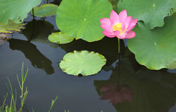 A pink lotus flower blooming among lush leaves. In a pond with reflections on the smooth water Stock Photography