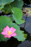 A pink lotus flower blooming among lush leaves in a pond with reflections on the smooth water Royalty Free Stock Photos
