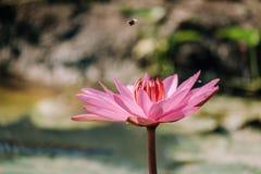 Pink lotus flower. Royalty Free Stock Photo