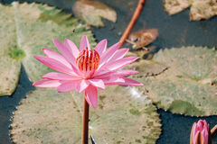 Pink lotus flower. Royalty Free Stock Images
