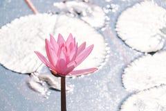 Pink lotus. Stock Images