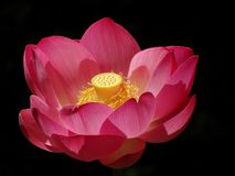 Pink lotus flower. Blooming pink lotus flower, nelumbo nucifera, on black background stock photography