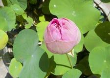 Pink lotus flower blooming. Stock Photos