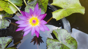 Pink lotus flower blooming ,Water Lilies flower Stock Photography