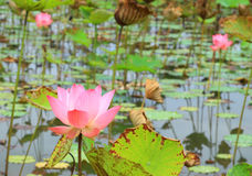 Pink lotus flower blossom Royalty Free Stock Images