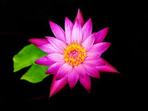 Pink lotus flower blossom Royalty Free Stock Image