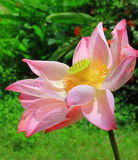 Pink lotus flower blossoming Royalty Free Stock Photos