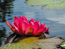 Pink Lotus Flower. Blossoming pink lotus with lily pad Royalty Free Stock Image