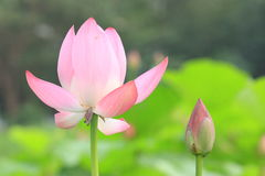 Pink lotus flower and bud Stock Photos