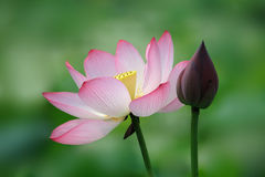 Pink Lotus flower with bud Stock Photo