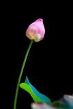 Pink lotus flower bud Royalty Free Stock Images