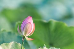 Pink lotus flower bud with green leaves. Blooming pink lotus flower bud with green leaves Stock Photos
