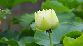 A pink lotus flower and lotus bud in a pond. Pink lotus flower and lotus stock video footage