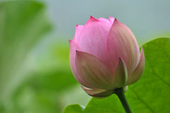 Pink lotus flower bud. In pond Stock Photography