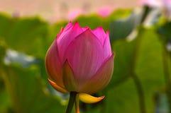 Pink lotus flower bud Stock Photos