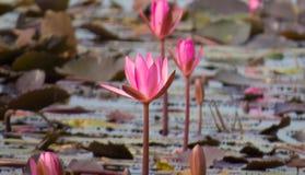 Pink lotus flower and buds Arkivfoto