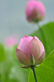 Pink lotus flower buds Stock Photography