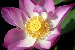 Pink lotus flower close up Stock Photography