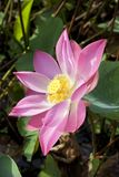 Pink lotus flower close up Stock Image