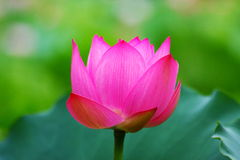 Pink Lotus Flower. The close-up of the pink lotus flower Royalty Free Stock Photo