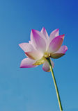 Pink lotus flower. A close up of  pink lotus flower in blue sky Royalty Free Stock Image
