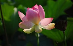 Pink Lotus Flower in Close Up Photography Royalty Free Stock Image