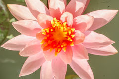 Pink lotus flower close up, selective focus. Stock Photos