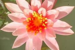 Pink lotus flower close up, selective focus. Stock Photos