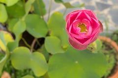 Pink lotus flower. Pink lotus flower,close up on top view Royalty Free Stock Photos