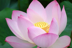 Pink Lotus flower Royalty Free Stock Photos