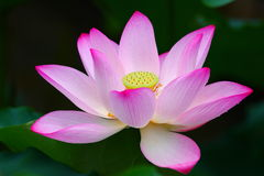 Pink Lotus Flower. The closeup of pink lotus flower with raindrops Royalty Free Stock Photography