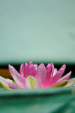 Pink lotus flower contrast with green background Stock Photo
