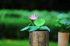 Pink Lotus Flower. The cute pink lotus flower in shenzhen honghu park, China Royalty Free Stock Photos