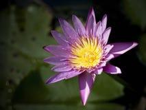 Pink lotus flower. Dark tone Royalty Free Stock Photography