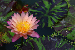 Pink lotus flower. Detail of pink lotus flower Royalty Free Stock Photography