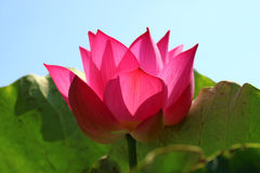 Pink lotus flower. Detail of pink lotus flower Stock Photography